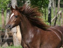 Leryna (liver chestnut mare) Windy%20with%20mane%20flowing%205-07%20sf